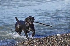 Rolig hund som spelar på stranden Arkivbilder