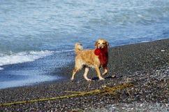 Rolig hund som spelar på stranden Royaltyfri Fotografi