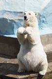 Rolig isbjörn som sitter på dess bakre ben Royaltyfria Foton