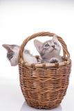 rolig isolerad kattunge little som är vit Arkivbild