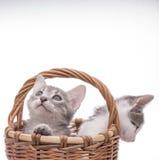 rolig isolerad kattunge little som är vit Arkivfoton