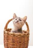 rolig isolerad kattunge little som är vit Fotografering för Bildbyråer