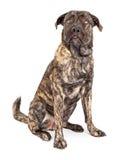 Rolig jätte- hund som ser upp Royaltyfri Fotografi