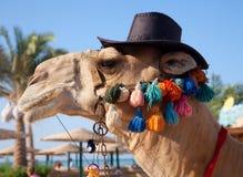 rolig kamel Royaltyfria Bilder