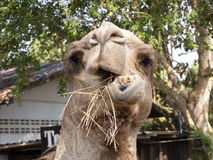 Rolig kamel Royaltyfri Bild