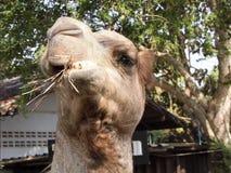 Rolig kamel Arkivfoto