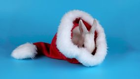 Rolig kanin som tvättar hans framsida i den Santa Claus hatten lager videofilmer