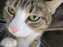 Rolig katt med gröna ögon royaltyfria bilder