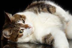 Rolig katt på isolerad svart bakgrund Arkivfoto