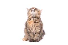 Rolig katt som uppåt ser Arkivbild