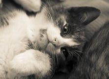 rolig kattunge Royaltyfria Bilder