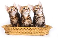 Rolig Kitten Bengal katt royaltyfri fotografi