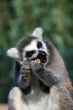 rolig lemur för djur framsida Royaltyfri Bild