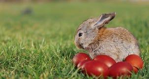 Rolig liten grå kanin sitter i det gröna gräset bland röda easter ägg stock video