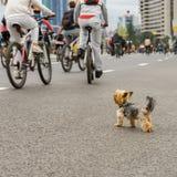 Rolig liten hund som håller ögonen på på masscykelritten i stad, maraton Sport, kondition och sunt livsstilbegrepp för Fotografering för Bildbyråer