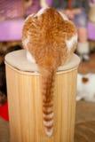 Rolig ljust rödbrun katt Royaltyfria Foton