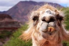 rolig llama royaltyfri bild