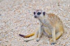 Rolig meerkat sitter på gruset arkivfoto