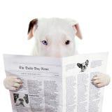Rolig mer bullterier läs- tidning Arkivbild