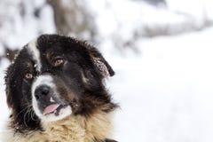 Rolig mioritic shephed hund som slickar i vinter Royaltyfria Bilder