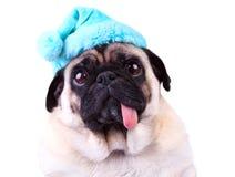Rolig mops förföljer att ha på sig en blåttvinterhatt Royaltyfri Foto