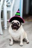 Rolig mops i hatt liten häxa Allhelgonaaftonhund Halloween deltagare karnevaldräkt venice rolig hund roliga husdjur Hund som kläs royaltyfri foto