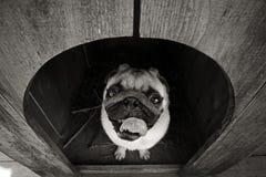 Rolig mopshund i hunden Royaltyfria Bilder