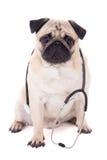 Rolig mopshund med stetoskopet som isoleras på vit Royaltyfri Fotografi