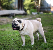 Rolig mopshund på en grön bakgrund Arkivfoto