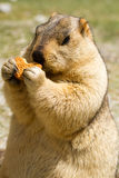 Rolig murmeldjur med bisquit på ängen Royaltyfri Bild