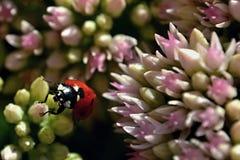 Rolig nyckelpiga på en blomma Arkivbilder