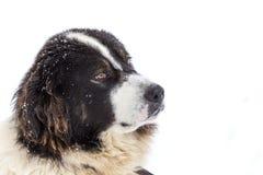 Rolig och ledsen mioritic shephed hund i vinter Royaltyfri Bild