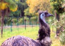 rolig ostrich Fotografering för Bildbyråer