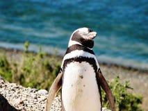 Rolig pingvin som tycker om solljuset i Chubut arkivfoton