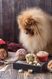 Rolig pomeranian hund med fester på trätabellen fluffig hund Pomeranian hund med muffin Royaltyfri Foto