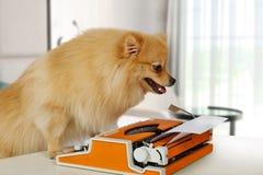 Rolig Pomeranian hundmaskinskrivning på en tappningskrivmaskin Royaltyfria Bilder