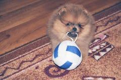 Rolig pomeranian spitzvalp pomeranian hund liten valp Royaltyfri Fotografi