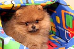 Rolig pomeranian spitzvalp pomeranian hund liten valp Arkivbild