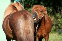 Rolig ponny två Royaltyfri Bild