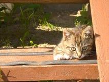 Rolig randig kattunge Royaltyfria Foton