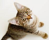 Rolig randig kattunge. Royaltyfri Bild