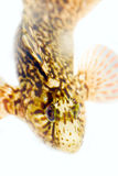 Rolig rund fisk på vit bakgrund Royaltyfri Fotografi