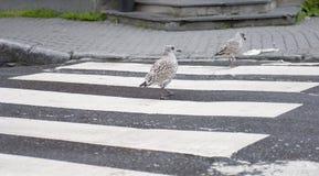 Rolig seagull Royaltyfria Bilder
