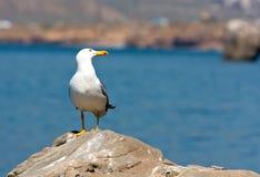 Rolig seagull Fotografering för Bildbyråer