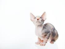 rolig seende sphinx för katt upp Fotografering för Bildbyråer