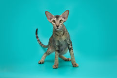 Rolig Siamese katt på en studiobakgrund Slank behagfull orientalisk katt med enorma öron Royaltyfri Fotografi