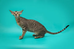 Rolig Siamese katt på en studiobakgrund Slank behagfull orientalisk katt med enorma öron Royaltyfri Foto
