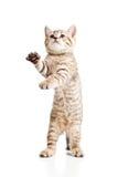 Rolig skämtsam kattkattunge på vit bakgrund Arkivfoto