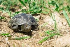 Rolig sköldpadda i grönt gräs Royaltyfri Foto