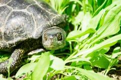 Rolig sköldpadda i grönt gräs Fotografering för Bildbyråer